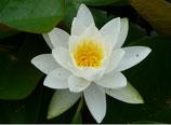 Gayatri  Die weiße Seerose