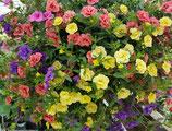 Sommerblumen in bunter Vielfalt