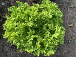 Lollo bionda Salat