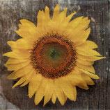 SI8中 F52 1332096 Sunny Sunflower