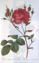 クリアファイル ルドゥーテのバラ *ブルー