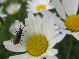 käfer auf margrithe