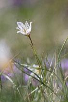 faltenlilienwiese
