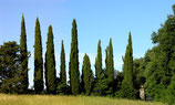 Fir cypress