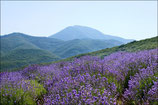 Mountain lavender