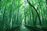 Himalayan bamboo