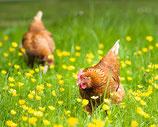 10 Stück Eier - Freilandhaltung