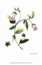 Atropa belladona