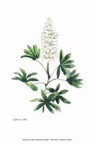 Lupinus albus