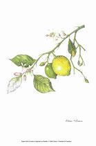 Citrus x limon