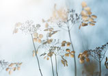 Hortensienpoesie