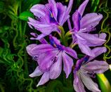 Iris Versicolor / Paarse Iris