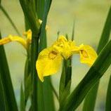 Iris Pseudacorus / Gele Lis
