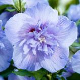 "Hibiscus syriacus ""blue chiffon®"" - Althéa bleu"