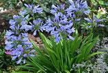 AGAPANTHE PITCHOUNE BLUE®