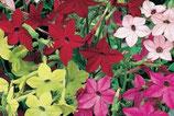TABAC D'ORNEMENT EN MÉLANGE - BARQUETTE DE 10 PLANTS