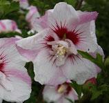 """Hibiscus syriacus """"Pinky Spot"""" - Althéa rose"""