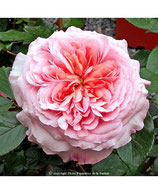 Rosier anglais rose de Cornouailles® Harhardy