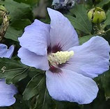 "Hibiscus syriacus ""Oiseau bleu"" - Althéa bleu"