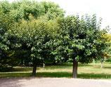 "Mûrier-platane - Morus Platanifolia ""Fruitless"""