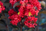 LAGERSTROEMIA INDICA - LILAS DES INDES