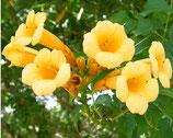 """Campsis radicans """"Yellow Trumpet"""" - Bignone de Virginie"""