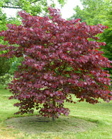 """CERCIS CANADENSIS """"FOREST PANSY"""""""