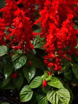 SAUGE ROUGE - BARQUETTE DE 10 PLANTS
