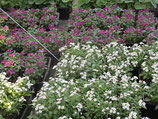 ALYSSES - BARQUETTE DE 10 PLANTS