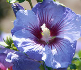"Hibiscus syriacus ""Ultramarine minultra"" - Althéa bleu"