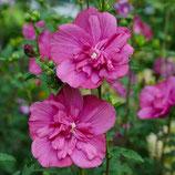 "Hibiscus syriacus ""Magenta Chiffon®"" - Althéa rose magenta"