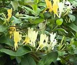 "Lonicera japonica ""Hall's Prolific"" - Chèvrefeuille du Japon"