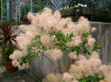 """COTINUS COGGYGRIA """"YOUNG LADY"""" - ARBRE À PERRUQUE"""