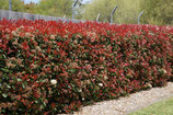 "PHOTINIA xFRASERI ""RED ROBIN"""