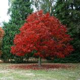CHÊNE ROUGE - QUERCUS RUBRA - Grand arbre