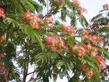 Albizia Ombrella en racines nues