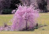 Cerisier à fleurs pleureur en racines nues - Prunus Kiku Shidare