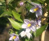 Solanum jasminoïde bleu