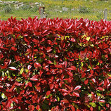 "PHOTINIA XFRASERI ""CARRÉ ROUGE"""
