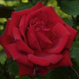 Rosier buisson à grandes fleurs Jupiter rouge