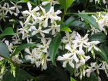 Trachelospermum jasminoïde - Jasmin étoilé ou faux jasmin