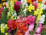 MUFLIERS NAINS EN MÉLANGE - BARQUETTE DE 10 PLANTS