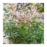 "NANDINA DOMESTICA ""TWILIGHT"""