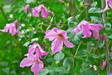 "Clématite diversifolia ""Hendryetta"""