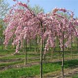PRUNUS SERRULATA KIKU SHIDARE SAKURA - Cerisier à fleurs pleureur