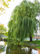 Salix Babylonica en racines nues - Saule pleureur - Grand arbre
