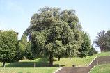 Chêne vert - QUERCUS ILEX - GRAND ARBRE