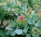 """Cotinus coggygria """"old fashioned"""""""
