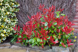 "PHOTINIA xFRASERI ""LITTLE RED ROBIN"""