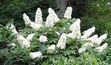 Hydrangea Quercifolia - Hortensia à feuilles de chêne